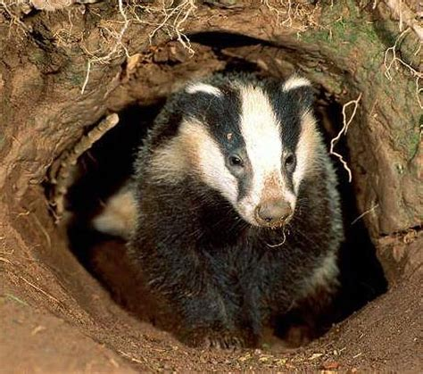 Badger Home badger avid digger animal pictures and facts factzoo