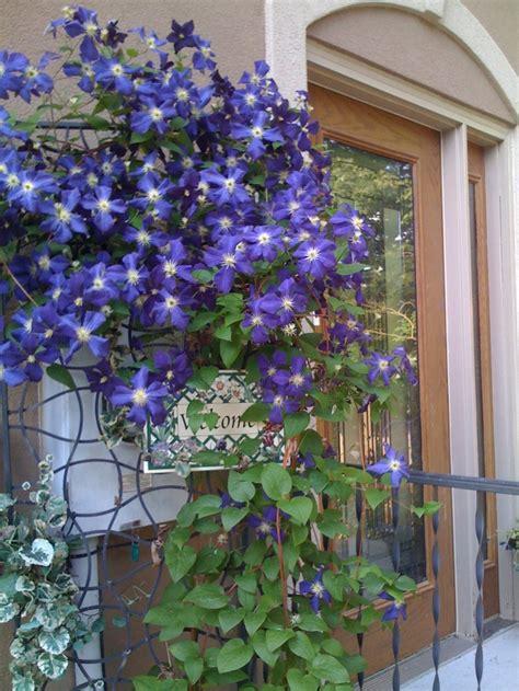 trellis clematis clematis gorgeous trellis garden goodies