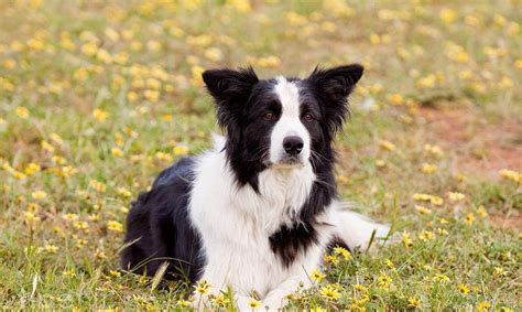 dog wallpapers esther siddiqi download for free collie dog wallpapers 100 quality collie dog hd images