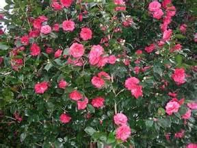 camellia flowering shrub december 2012 newsletter