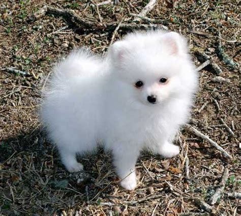 teacup pomeranian puppies for sale in nc teacup pomeranian puppies for sale in nc images
