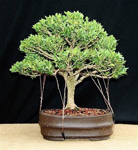 tipi di bonsai da interno bonsai bosso bonsai