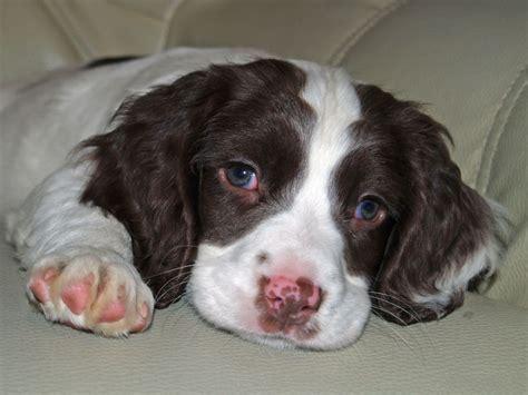 wisconsin puppies springer spaniel puppies picture wisconsin breeders guide