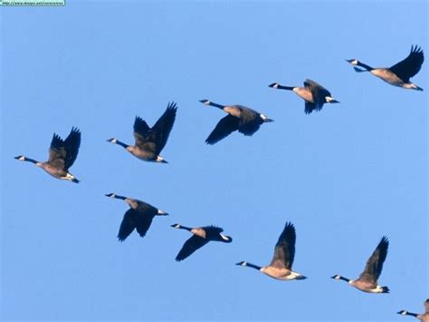 migratory species in focus canada goose branta