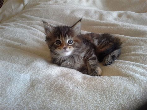 Stunning Tortie Tabby female Maine Coon kitten.   Stafford