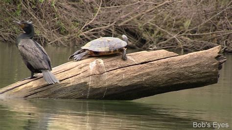 Do Painted Turtles Shed by Turtles On The Russian River Ca Bob S