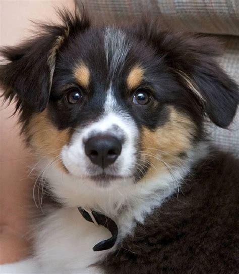 australian german shepherd puppy 25 best puppy wallpaper ideas on