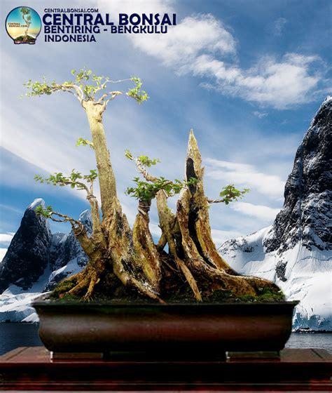 Bakalan Bonsai Sisir tips jitu seribu 1 000 lebih bakalan bonsai unik jenis
