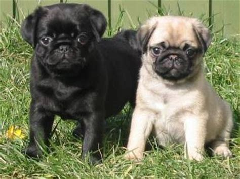 brown pugs for sale mixed of black and brown pug puppies pets for sale in the uk