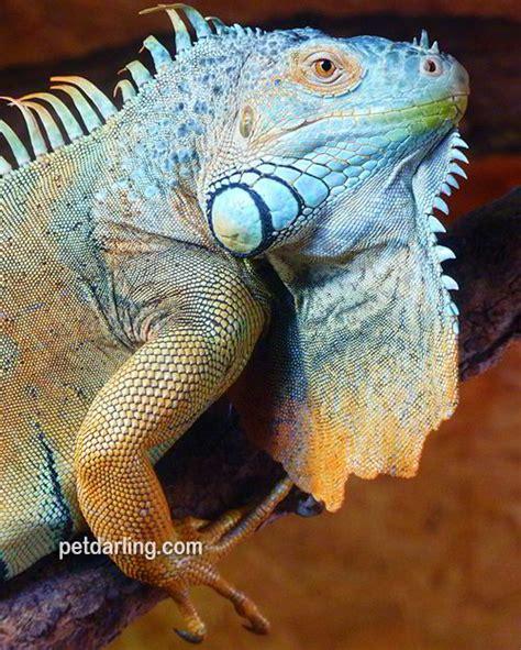 imagenes iguanas verdes iguana verde h 225 bitat que come fotos de iguanas
