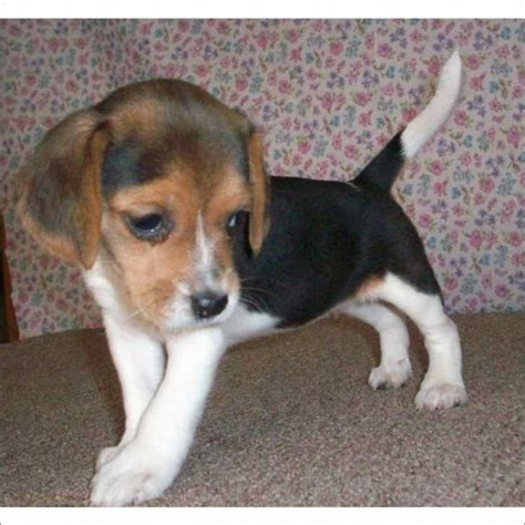 beagle puppies for sale in beagle puppy for sale in south florida for sale beagle dogs puppies
