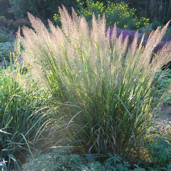 Winterharte Blumen Für Den Garten 897 by Calamagrostis Brachytricha Diamantgras Mit Stauden