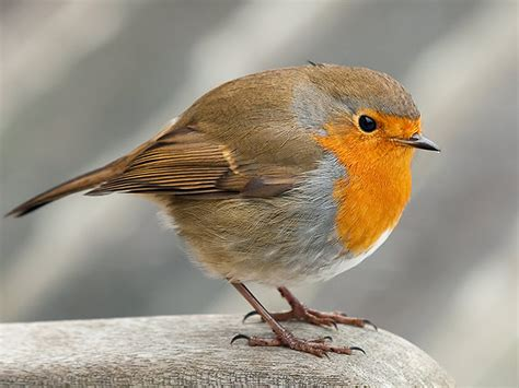 robin wallpaper and background 1600x1200 id 455636