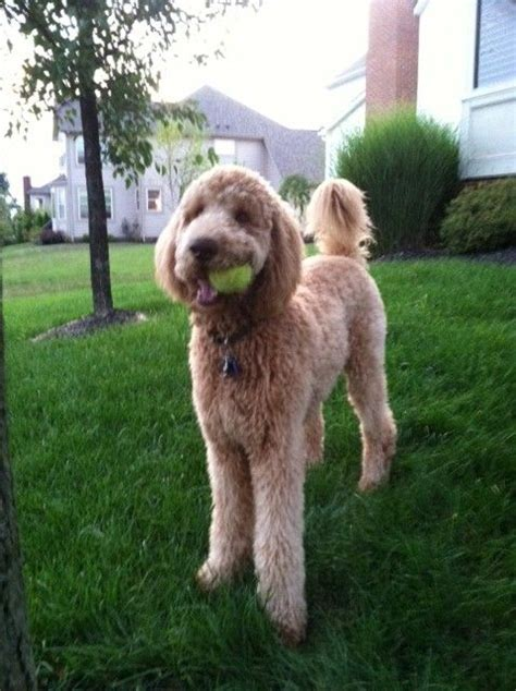 face hairstyle goldendoodle 31 best scout haircut ideas images on pinterest