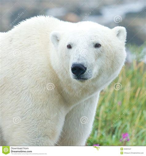 closeup portrait of a curious polar royalty free stock photography image 35091547