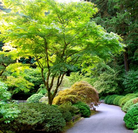 plant spotlight japanese maples