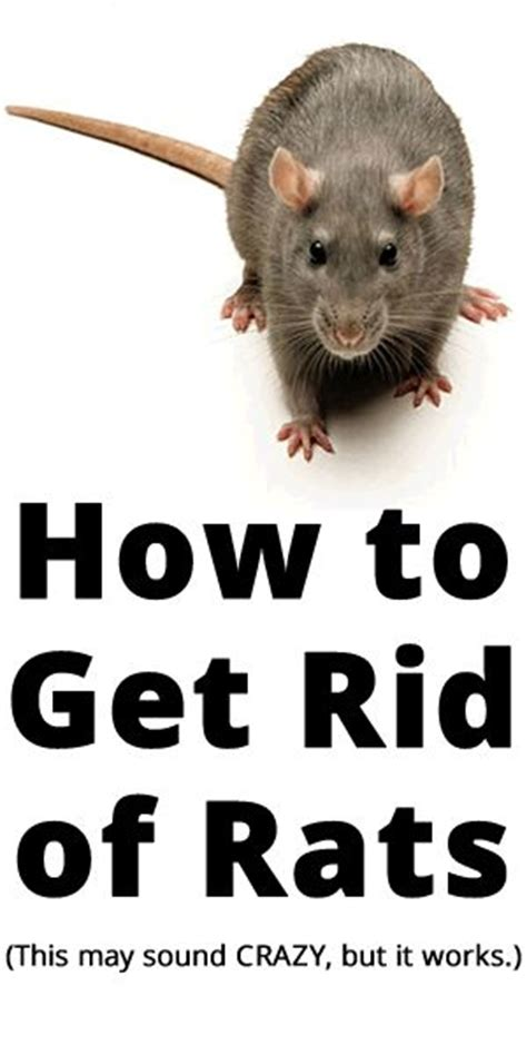 25 best ideas about getting rid of rats on