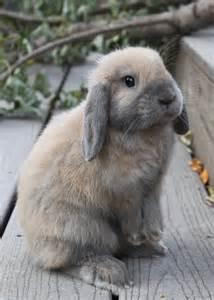 floppy eared bunny by lambieb123 on deviantart