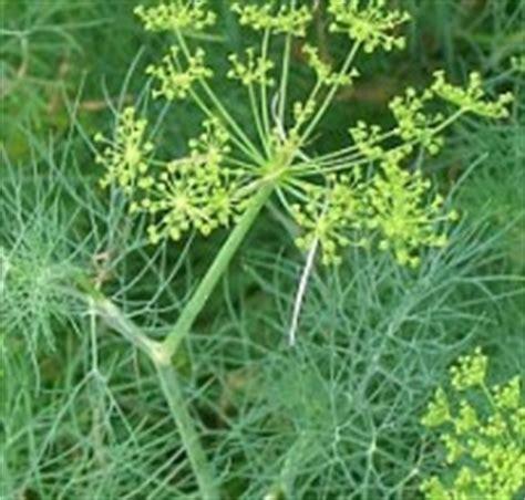 aneto in cucina le erbe aromatiche utilizzi in cucina uovazuccheroefarina
