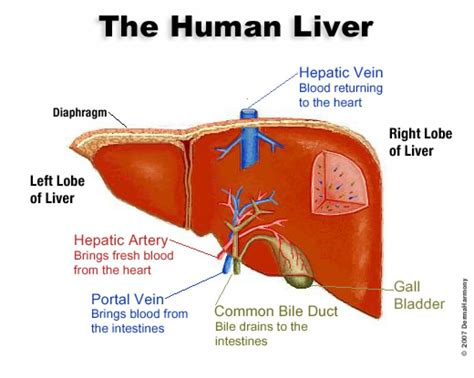 liver anatomy diagram diagram of the liver in the anatomy human