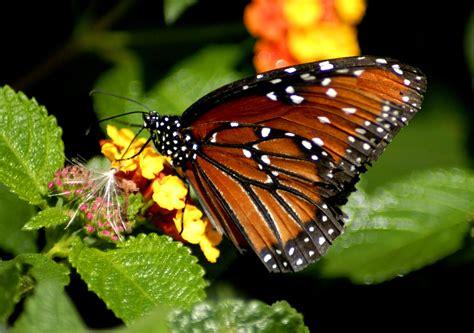 beautiful wallpapers  desktop beautiful hd butterfly