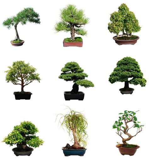 Bonsai Baum Arten by Select Your Bonsai Tree Seeds By Species Type Ebay
