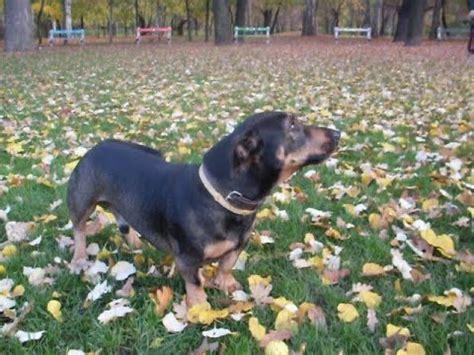 rottweiler dachshund mix attention rottdach rottweiler dachshund mix