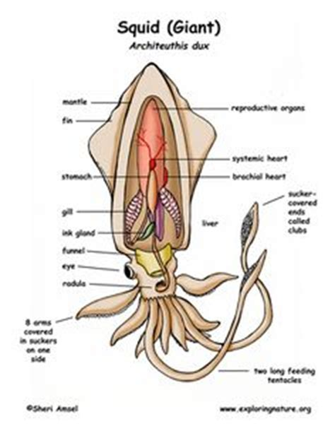collection of squid anatomy worksheet them and