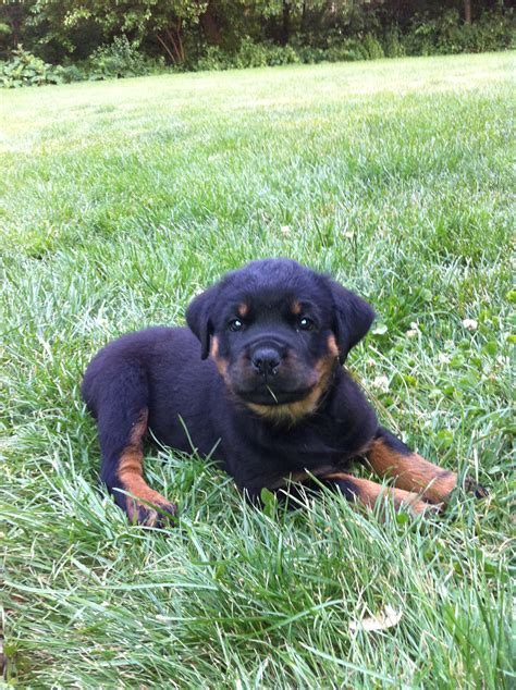 german rottweiler puppy german rottweiler wallpaper