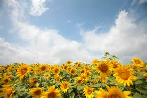 sunflower garden photo page everystockphoto