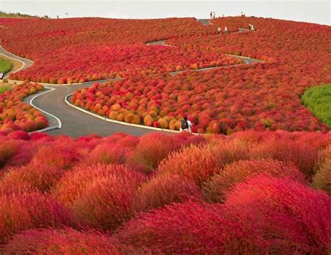 kochia hill hitachinaka city japan beautiful places