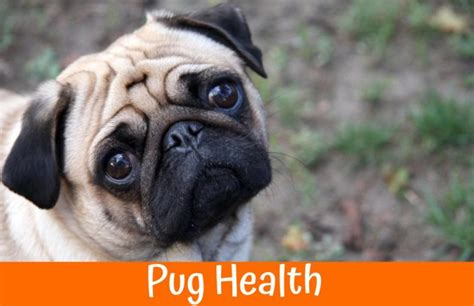 pug dogs health problems pug health problems guide for owners us bones