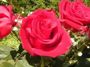 New Beautiful Flowers - best photography rose flower