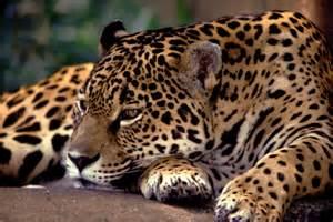 Jaguars Extinct Extinction Animals