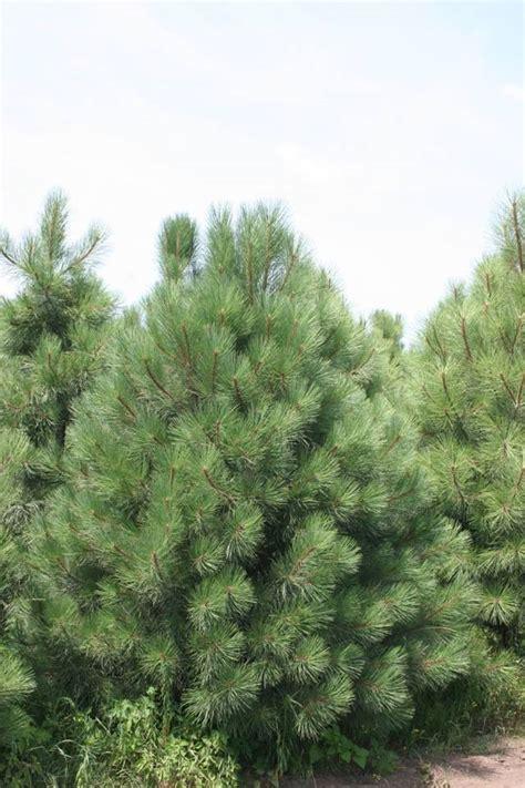 ponderosa pine hedberg landscape and masonry supplies