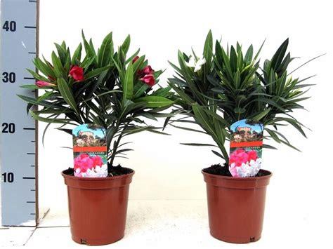 oleandro in vaso oleandro in vaso piante da terrazzo coltivare l