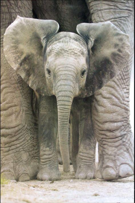 elephant big ears athena posters
