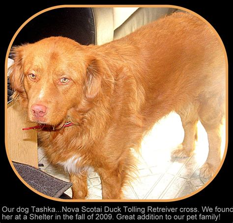 golden retriever pink nose when we rescued tashka from the shelter they said she s a golden lab when we took