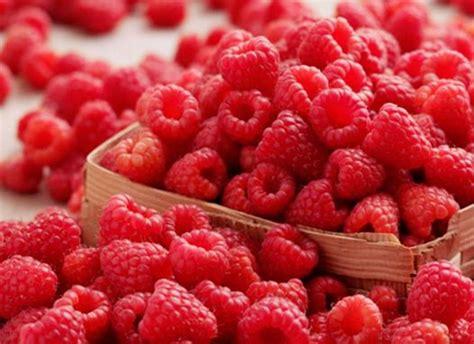 Benihbijibibit Buah Raspberry Mix Import konsumsi buah beri 9 warga australia positif hepatitis a