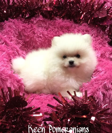 what is a pomeranian look like 1000 images about beautiful pomeranian babies on