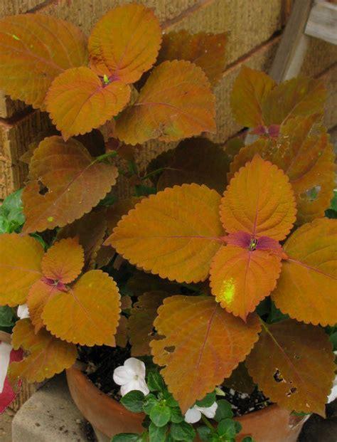 nice orange color plantfiles pictures coleus flame nettle painted nettle