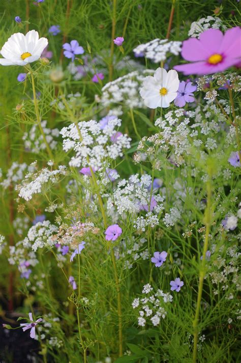 planting wildflowers top tips wildflower garden ideas wildflowers queens and cosmos