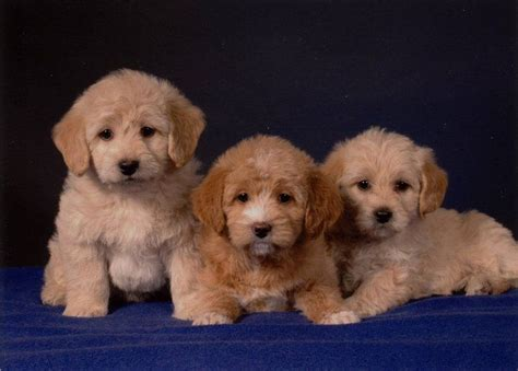 mini doodle rescue dogs mini goldendoodle rescue florida breeds picture