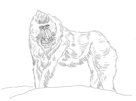 marmoset monkey coloring page how to draw common marmoset