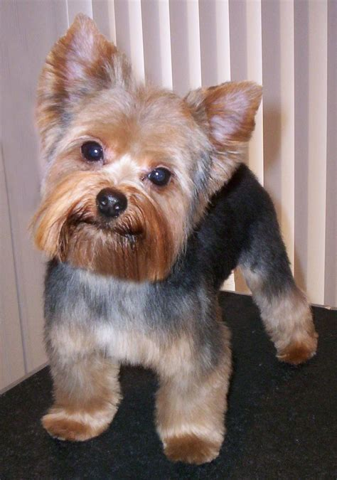yorkie haircuts pictures only 21 best yorkie haircuts images on pinterest yorkies