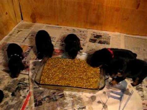 rottweiler puppies 1 week rottweiler puppies attack food dish 3 1 2 weeks