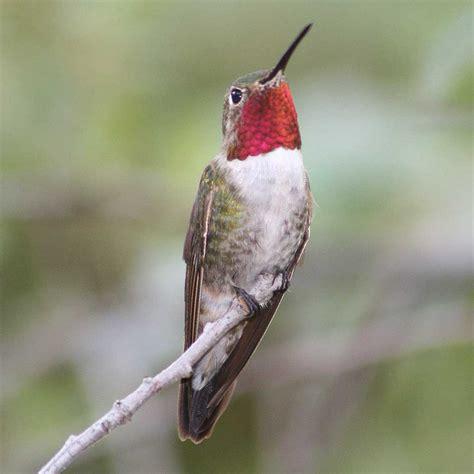Hummingbird L by Sheri L Williamson