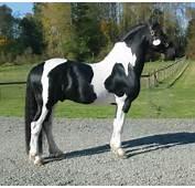 Friesian Sport Horse Jumping Sporthorse Info Origin History