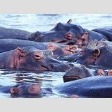 Hippopotamus Face In Water   1024 x 768 jpeg 183kB