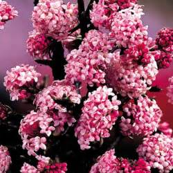 pink winter flowering shrub viburnum bodnantense mirror garden